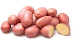 Картофель ред леди: описание и характеристики сорта, посадка и уход, отзывы с фото