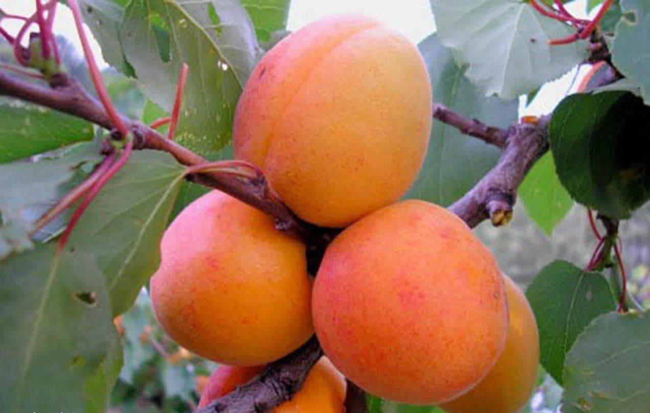 Самоплодные сорта абрикоса