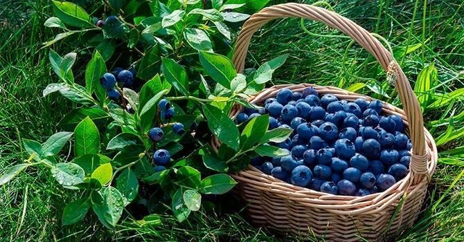 Голубика: полезные свойства и противопоказания, способы употребления и приготовления