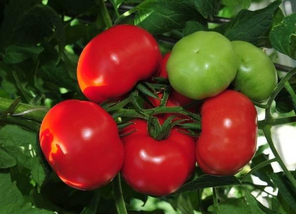 Описание сорта томата благовест — как поднять урожайность