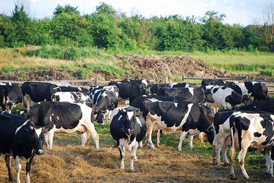 Черно-пестрые коровы - разведение и характеристика породы крс 2020