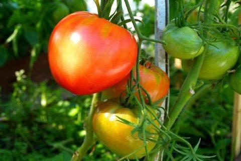 Томат данко: отзывы, характеристика, описание сорта, урожайность
