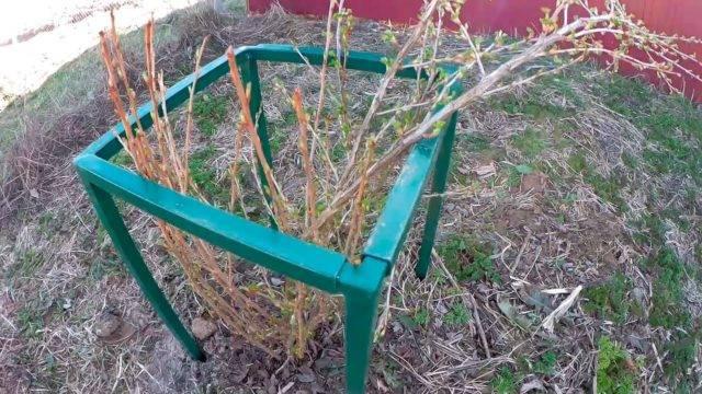 Как сделать ограду для смородины своими руками. как лучше огородить кусты смородины