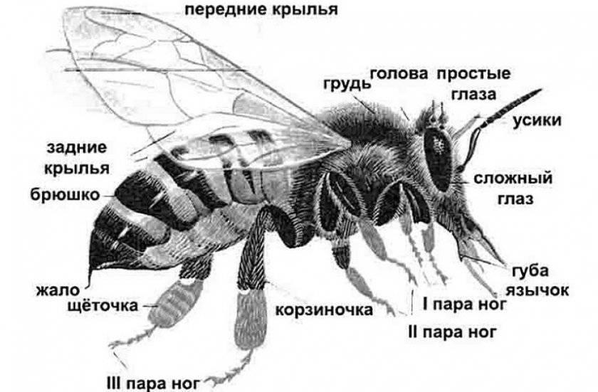 Опыление растений пчелами – в чем же особенность и польза такого процесса?