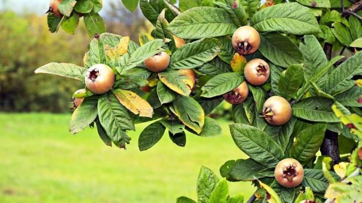 Полезные свойства китайского лимонника, лекарственные формы и применение
