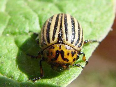 Пропорции разведения горчицы и уксуса от колорадского жука