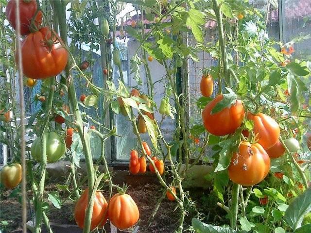 Томат сто пудов: отзывы, фото, урожайность