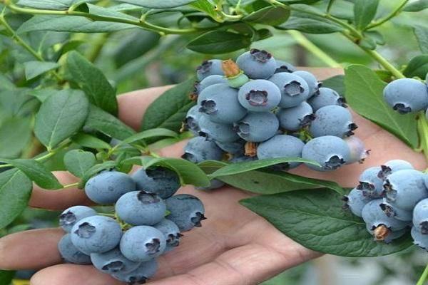 Голубика посадка и уход полив пересадка и размножение