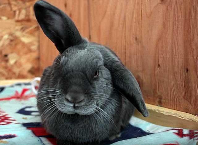Заболевания ушей у кроликов: как определить и вылечить?