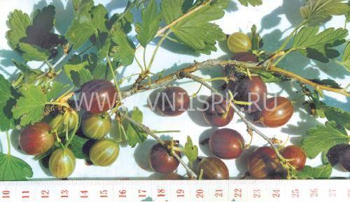 Крыжовник колобок: характеристика, особенности выращивания и размножения
