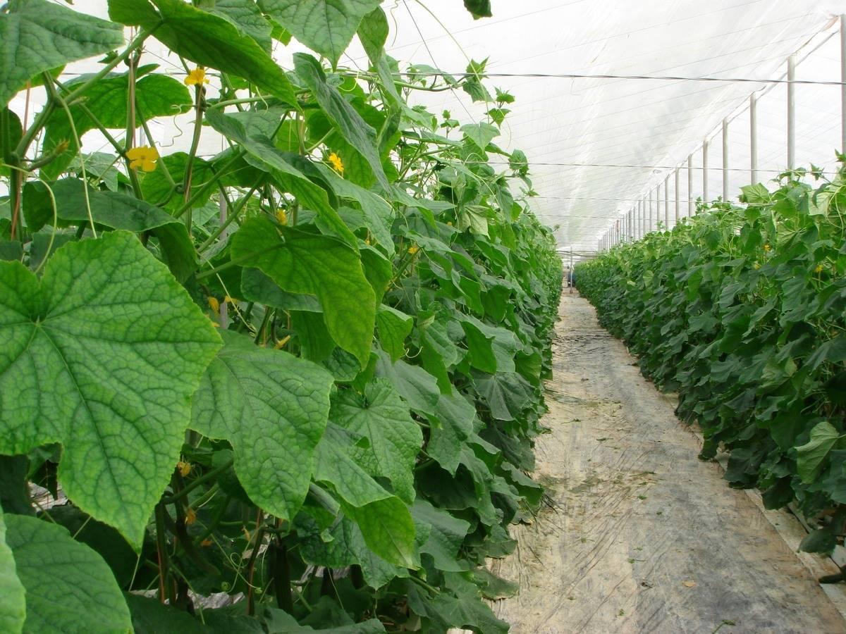 Выращивание огурцов рассадным способом – пошаговый мастер-класс с фото