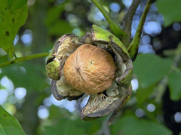 Когда цветет грецкий орех в средней полосе. грецкий орех – посадка и выращивание. размножение грецкого ореха