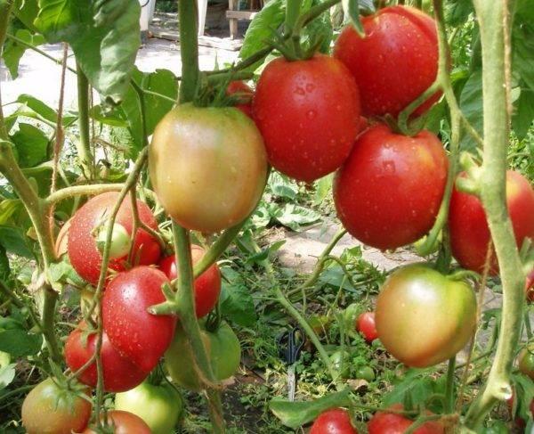 Томат узелок бабушкин — описание сорта, урожайность, фото и отзывы садоводов