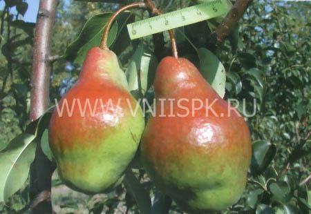 Сорт груши яковлевская — ботаническое описание и характеристика сорта
