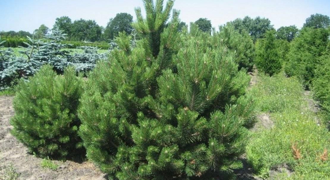 Выращивание сосны из семян: посадка и правильный уход