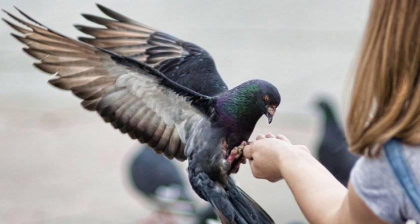 Лечение болезни ньюкасла у голубей
