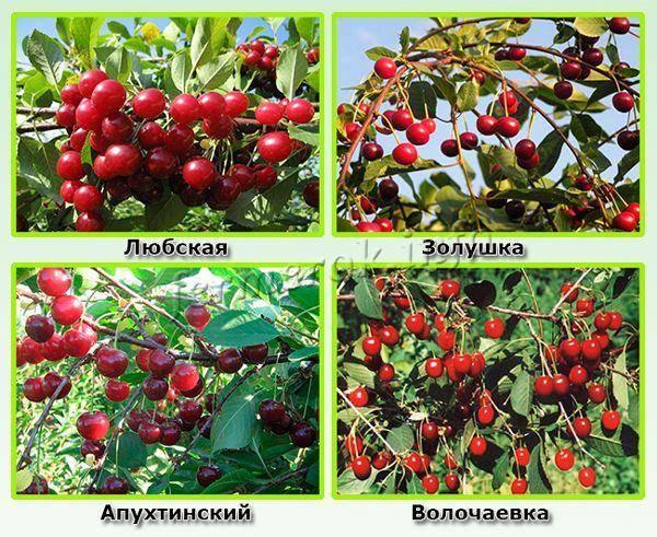 Вишня «щедрая»: особенности выращивания и уход