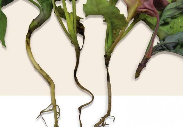 Черная ножка у рассады томатов: методы борьбы, фото