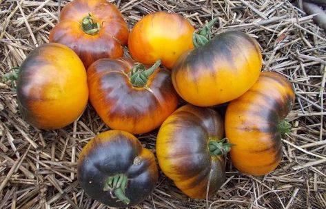 Характеристика и описание сорта томата персик, его урожайность