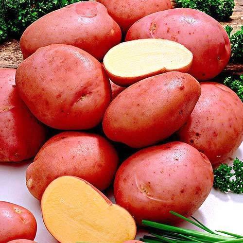 Популярный и сильный картофель «краса» : описание сорта, фото