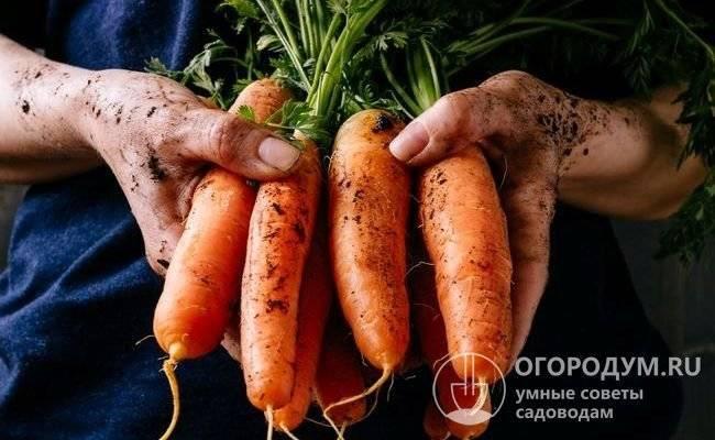 Морковь император: описание, отзывы и агротехника выращивания