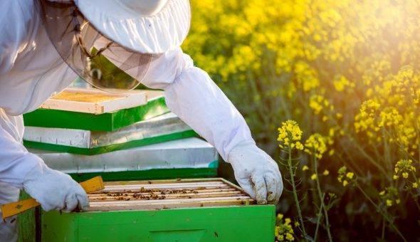 Объединение пчелосемей.