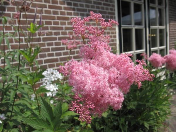 Лабазник, посадка и уход, выращивание лабазника — популярно о здоровье