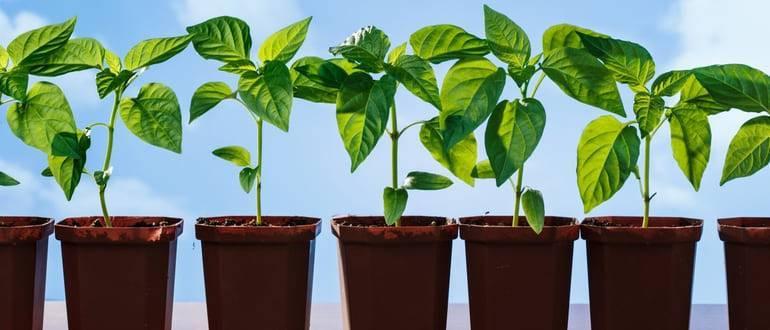 6 правил, когда сеять баклажаны на рассаду: секреты огородника. | красивый дом и сад