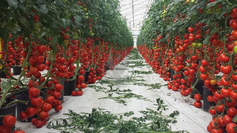 Можно ли сажать огурцы и помидоры вместе в одной теплице из поликарбоната, когда и как это делать: как правильно вырастить томаты с другой культурой, фото плодовых