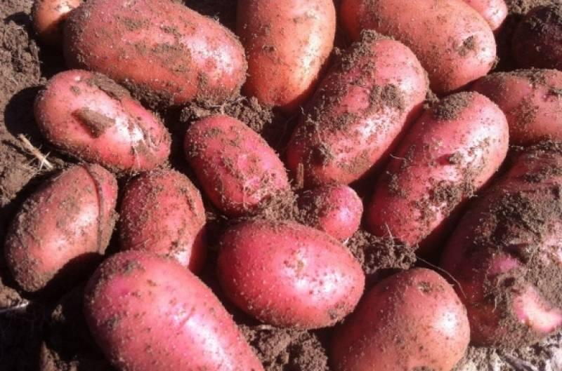 Сорт картофеля «ред леди»: характеристика, описание, урожайность, отзывы и фото
