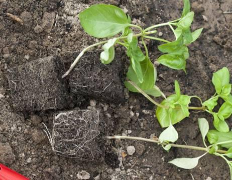 Базилик - выращивание из семян в открытом грунте