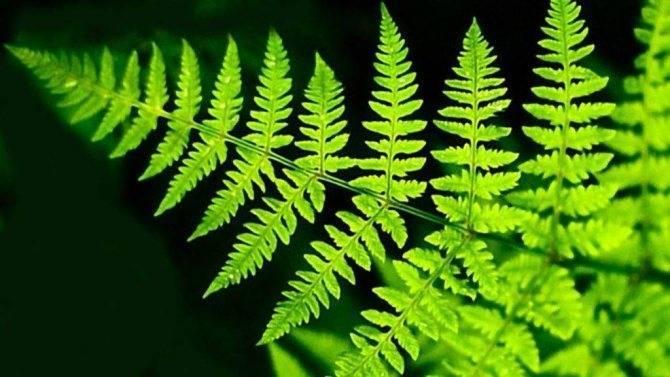 Как размножается папоротник в природе. как в природе размножается папоротник