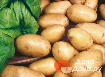 """Сорт картофеля """"брянский деликатес"""" - описание характеристики отзывы фото видео — сорта вики ру"""