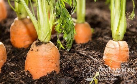 Как выращивают морковь дордонь?