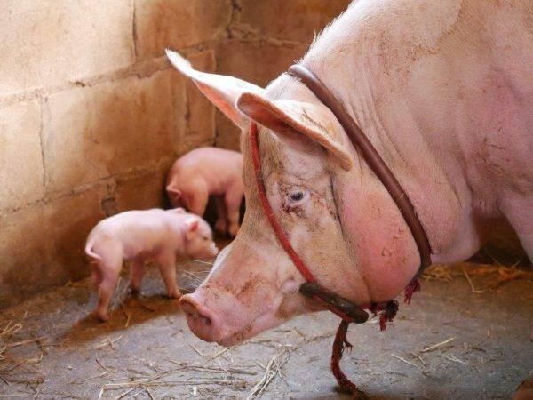 Кармалы: особенности породы свиней, правила ухода и разведения