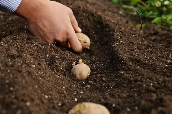 Картофель гулливер