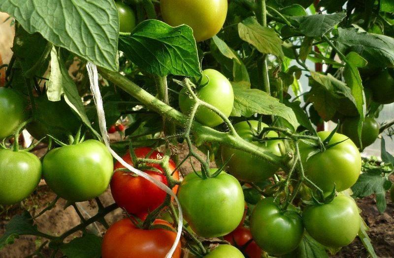 Ранний и вкусный томат «бетта»: описание сорта, выращивание, фото плодов-помидоров