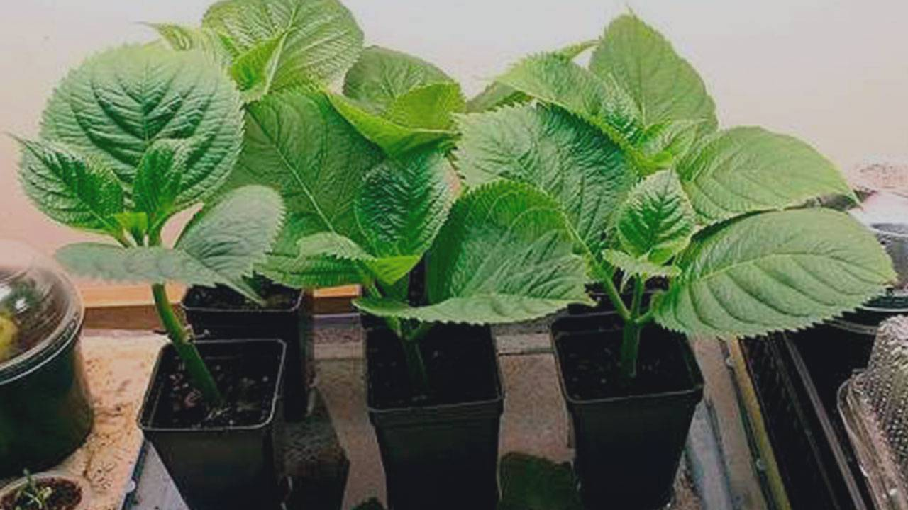 Как вырастить гортензию из семян в домашних условиях?