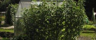 Выращивание топинамбура: агротехника и фото, размножение, а также как посадить в домашних условиях клубнями на участке на даче в открытом грунте и где взять семена?