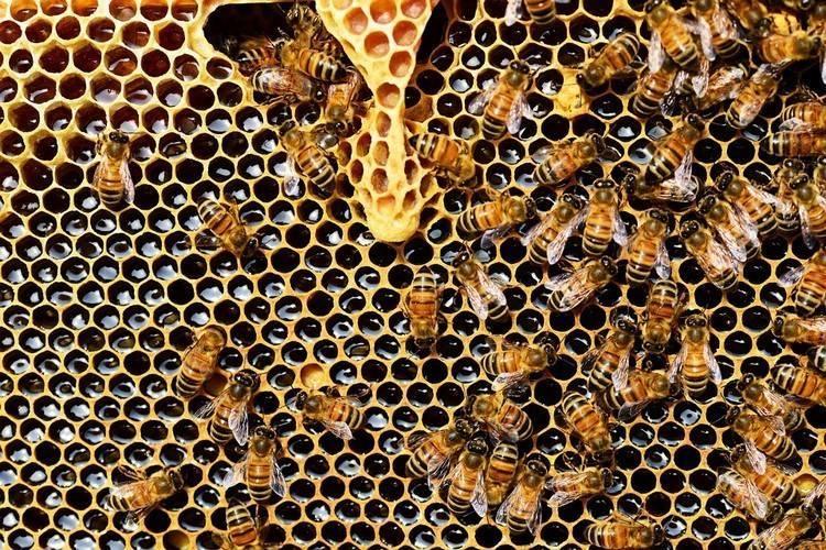 10 фактов о пчелах