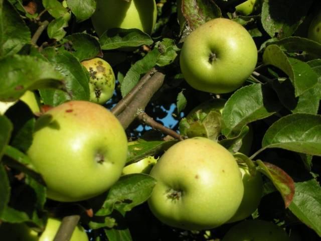 Характеристика и описание сорта яблони чемпион