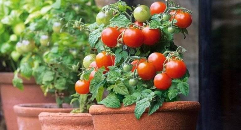 Выращивание помидоров зимой на подоконнике
