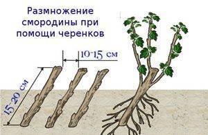 Как размножить красную смородину 4 способами