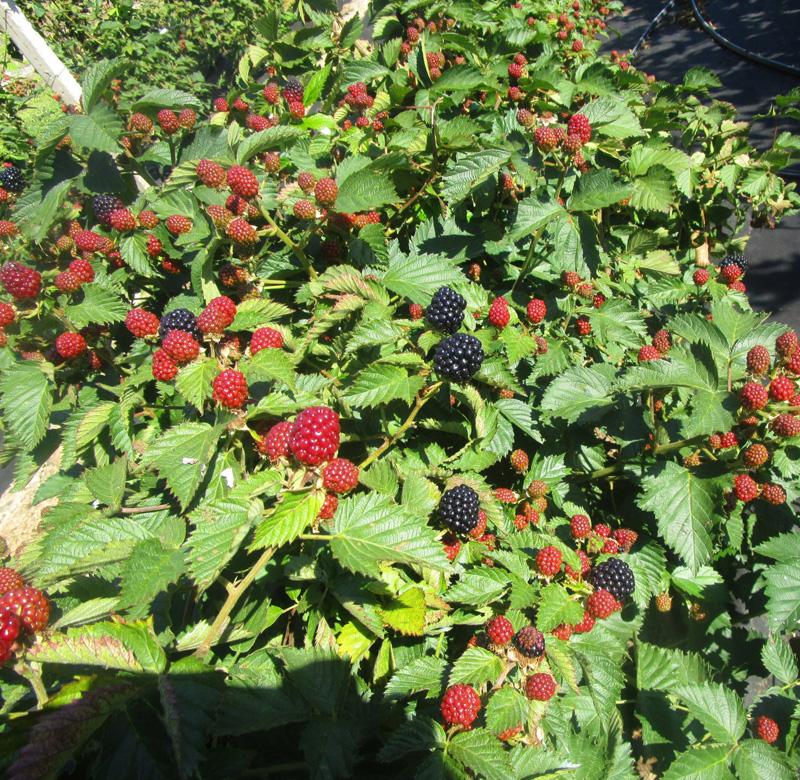 Особенности выращивания ежевики джамбо
