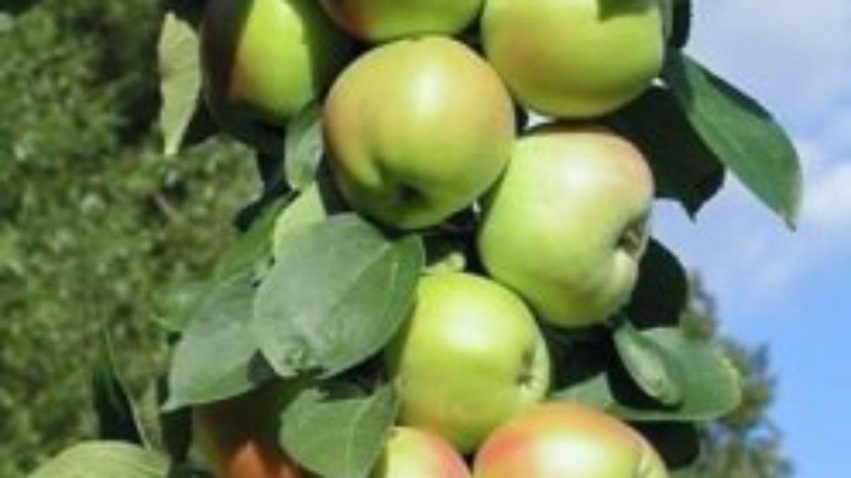 Колоновидная яблоня васюган: посадка саженцев и уход за плодовыми деревьями