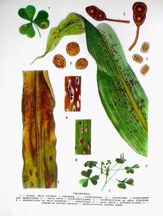 Болезни кукурузы фото