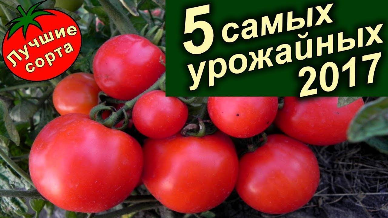 Томат новичок красный: характеристика и описание сорта помидоров, фото, отзывы тех, кто сажал, видео