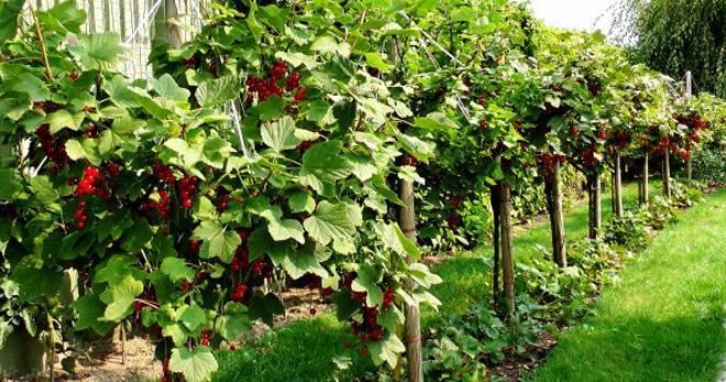 Чёрная и красная штамбовая смородина: как сформировать в виде дерева