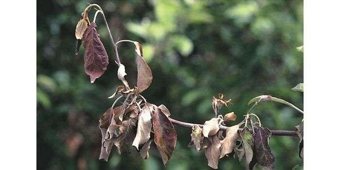 Почему сохнет молодая груша