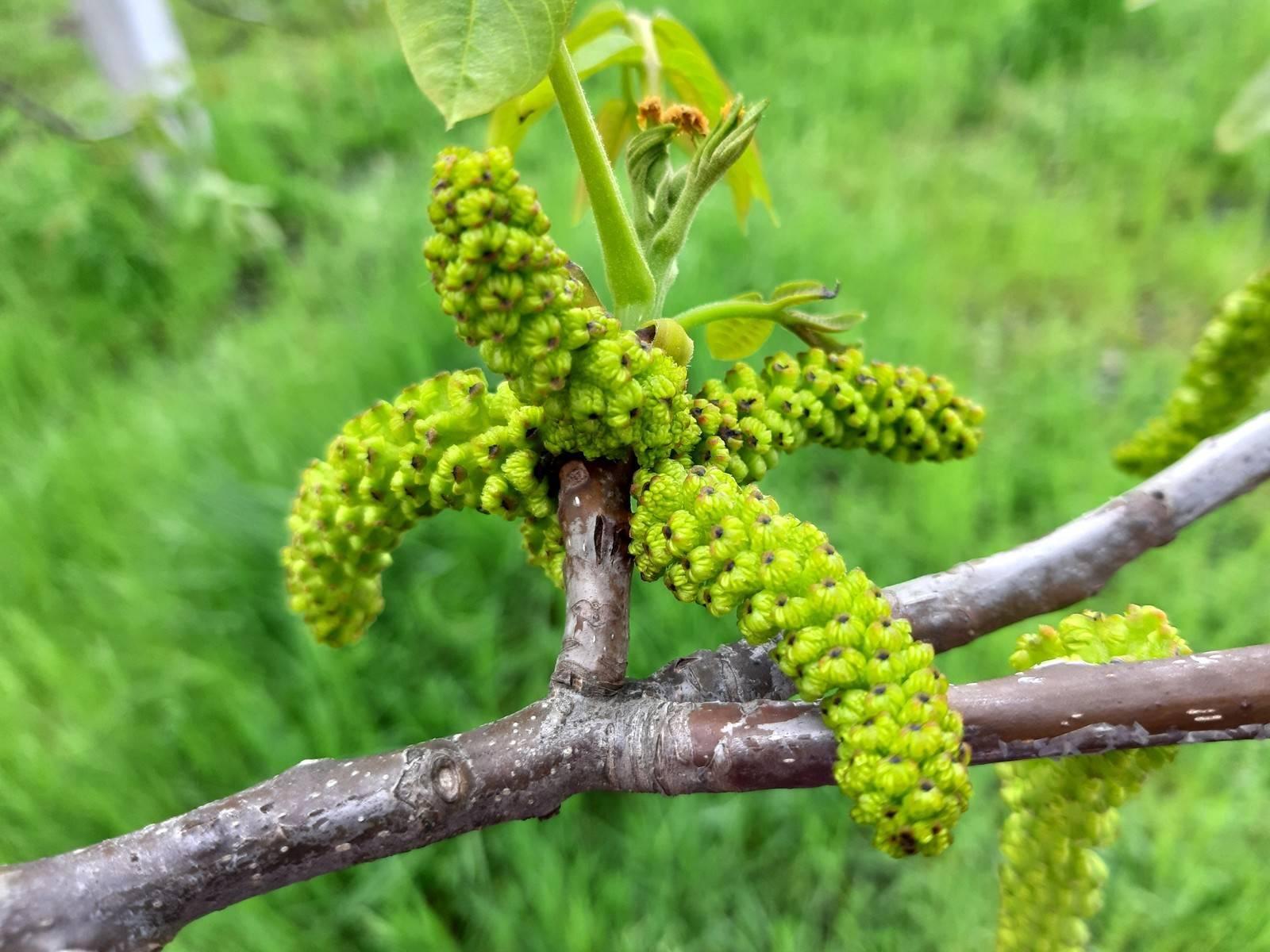 Как цветет груша: 75 фото цветения и особенности ухода за грушей в период цветения